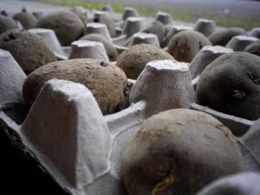 Germination-pommes-de-terre-900x675